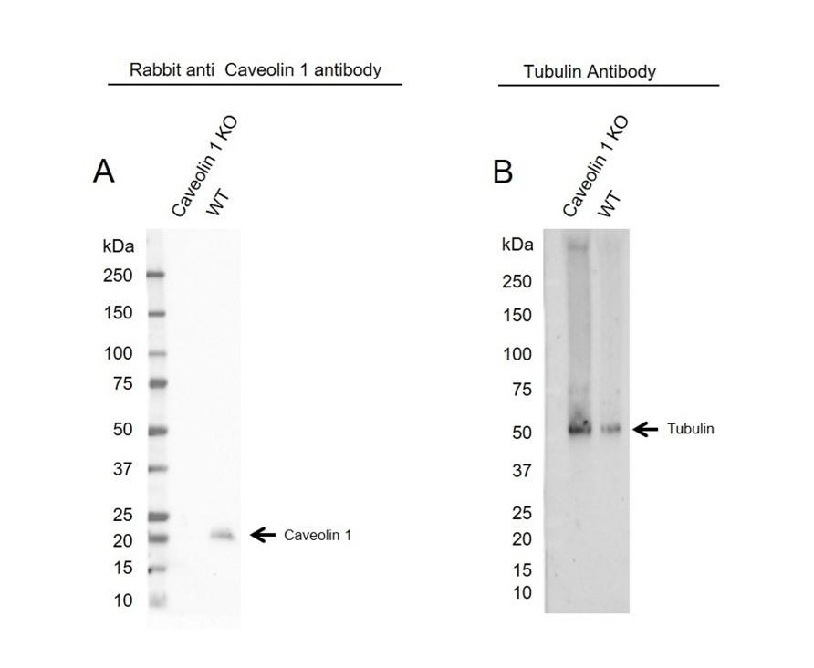 Anti Caveolin 1 Antibody (PrecisionAb Polyclonal Antibody) thumbnail image 2