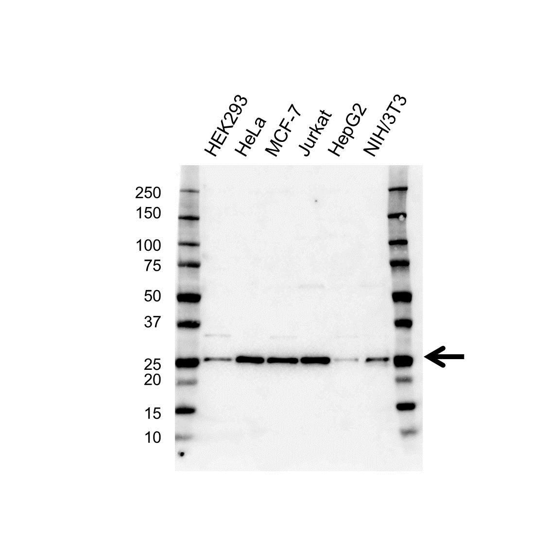 Anti CBX5 Antibody (PrecisionAb™ Polyclonal Antibody) gallery image 1