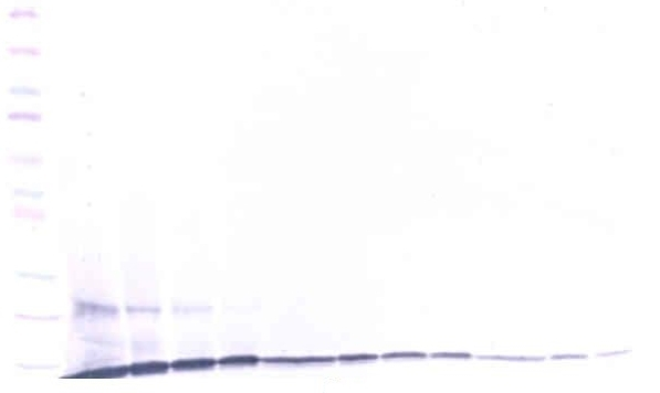 Anti Human CCL23 Antibody gallery image 1