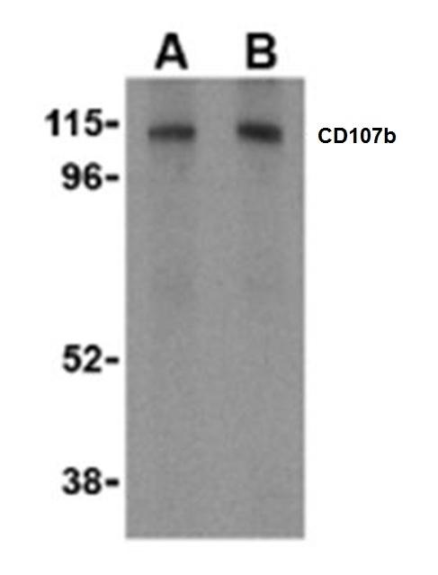 Anti CD107b Antibody thumbnail image 1