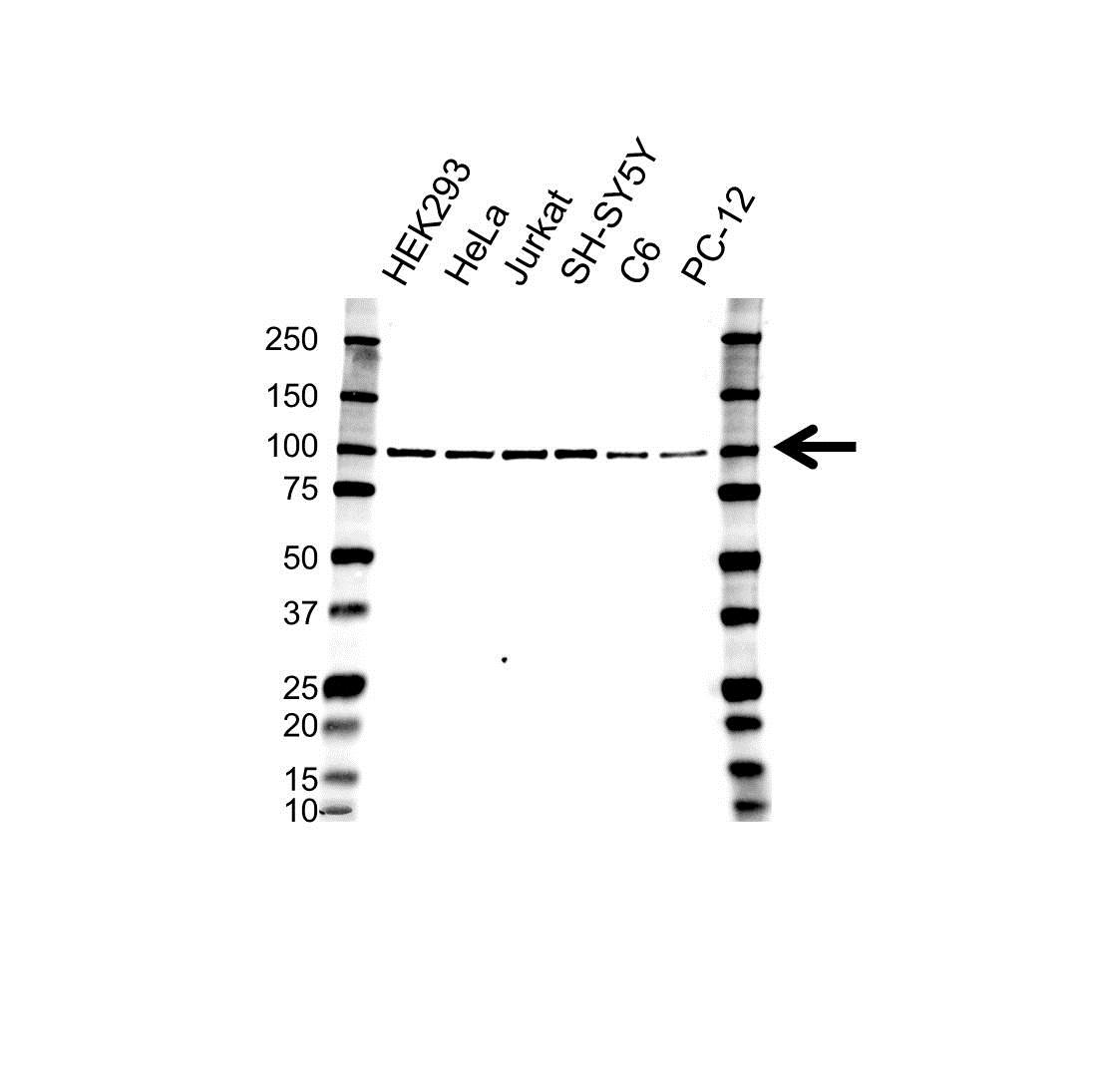 Anti CD107b Antibody (PrecisionAb Polyclonal Antibody) gallery image 1