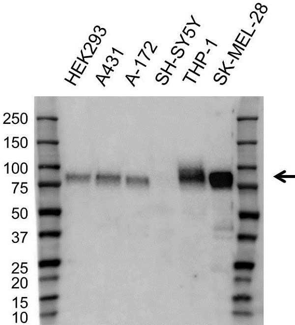 Anti CD172a Antibody (PrecisionAb Polyclonal Antibody) gallery image 1