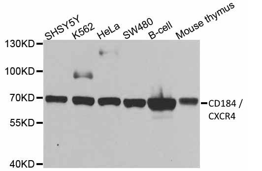 Anti CD184 / CXCR4 Antibody thumbnail image 1