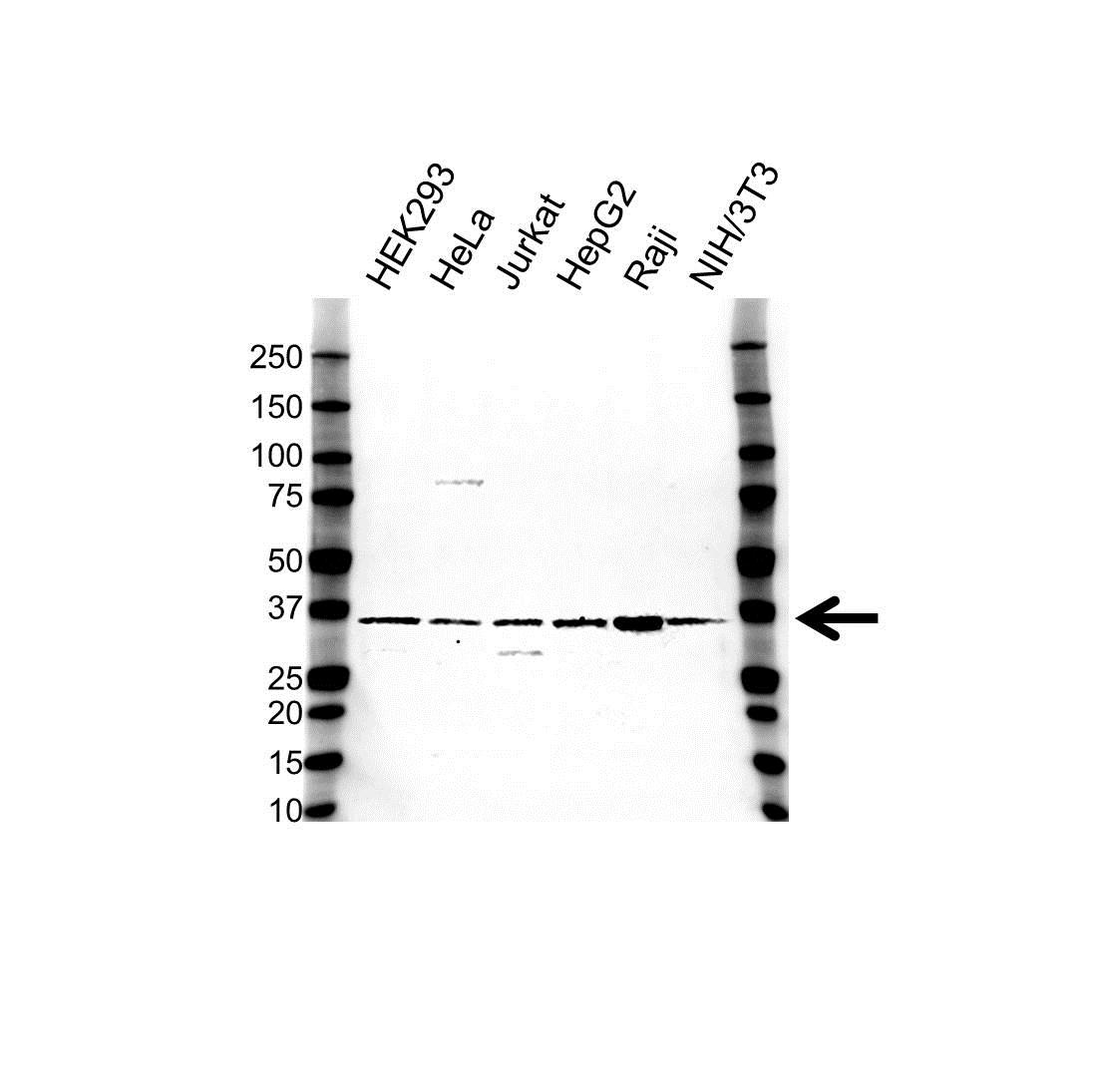 Anti CD226 Antibody (PrecisionAb™ Polyclonal Antibody) gallery image 1