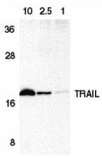 Anti Human CD253 (C-Terminal) Antibody thumbnail image 2