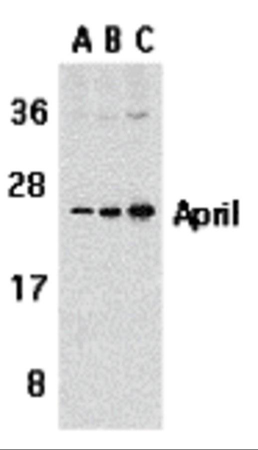Anti Human CD256 Antibody thumbnail image 1