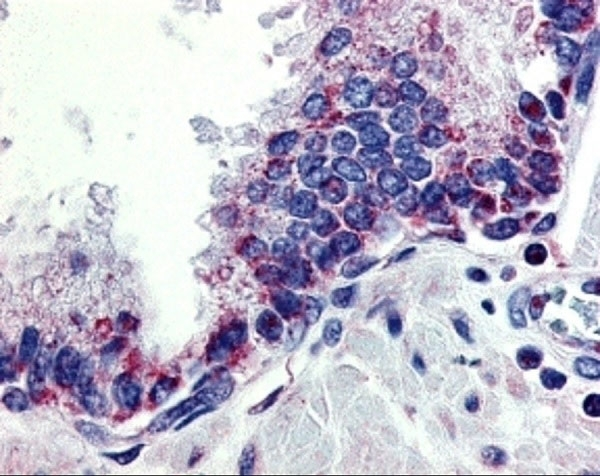Anti Human CD256 Antibody thumbnail image 2