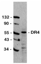 Anti Human CD261 (C-Terminal) Antibody thumbnail image 1