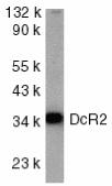 Anti Human CD264 Antibody thumbnail image 1