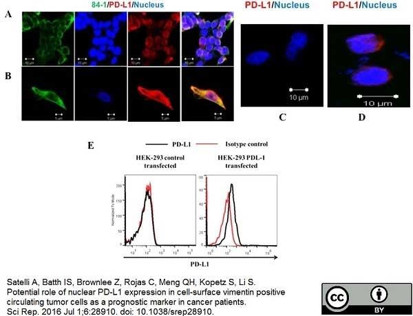 Anti Human CD274 Antibody thumbnail image 3
