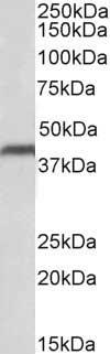 Anti Human CD274 (C-Terminal) Antibody thumbnail image 1