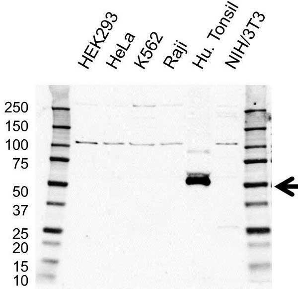 Anti CD28 Antibody (PrecisionAb Polyclonal Antibody) gallery image 1