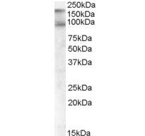 Anti Human CD318 (C-Terminal) Antibody gallery image 1
