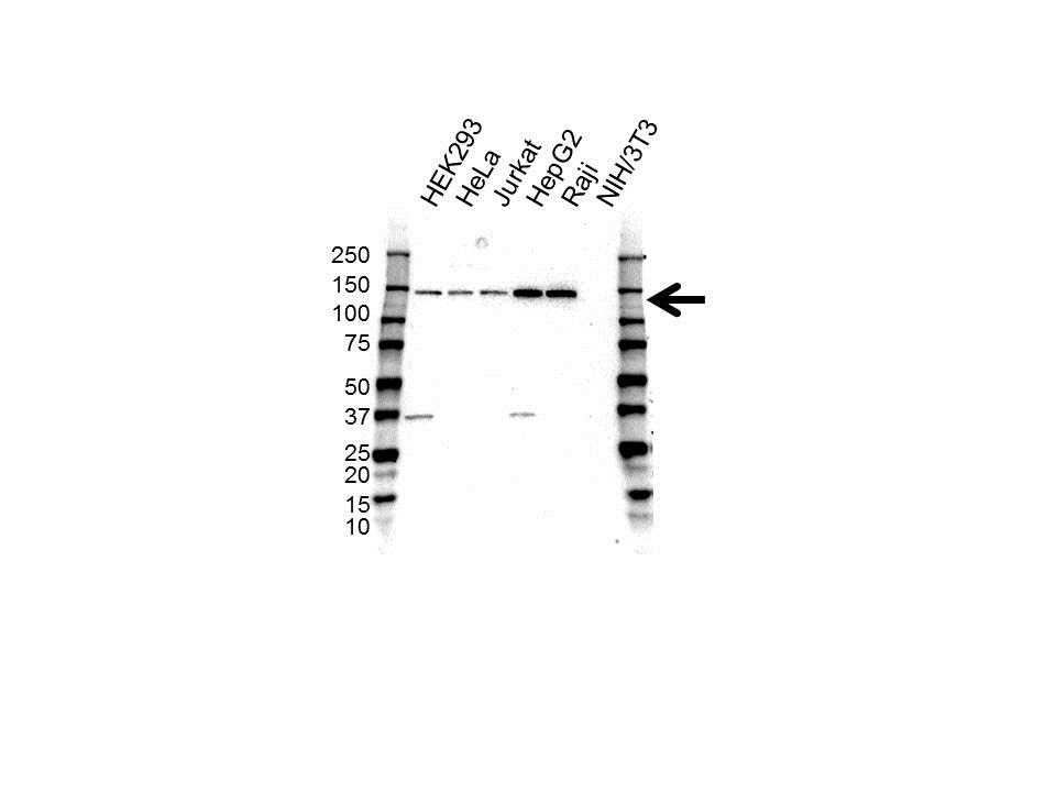 Anti CD49a Antibody (PrecisionAb™ Polyclonal Antibody) gallery image 1