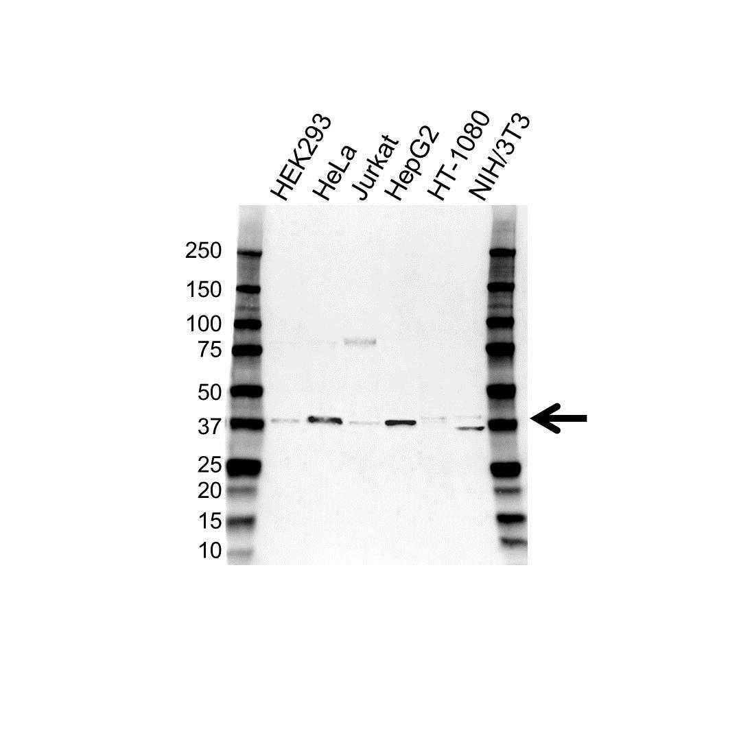 Anti CD62L Antibody (PrecisionAb Polyclonal Antibody) gallery image 1