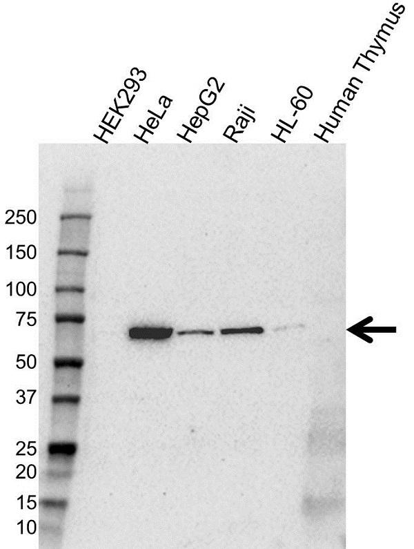 Anti CD63 Antibody (PrecisionAb Polyclonal Antibody) gallery image 1
