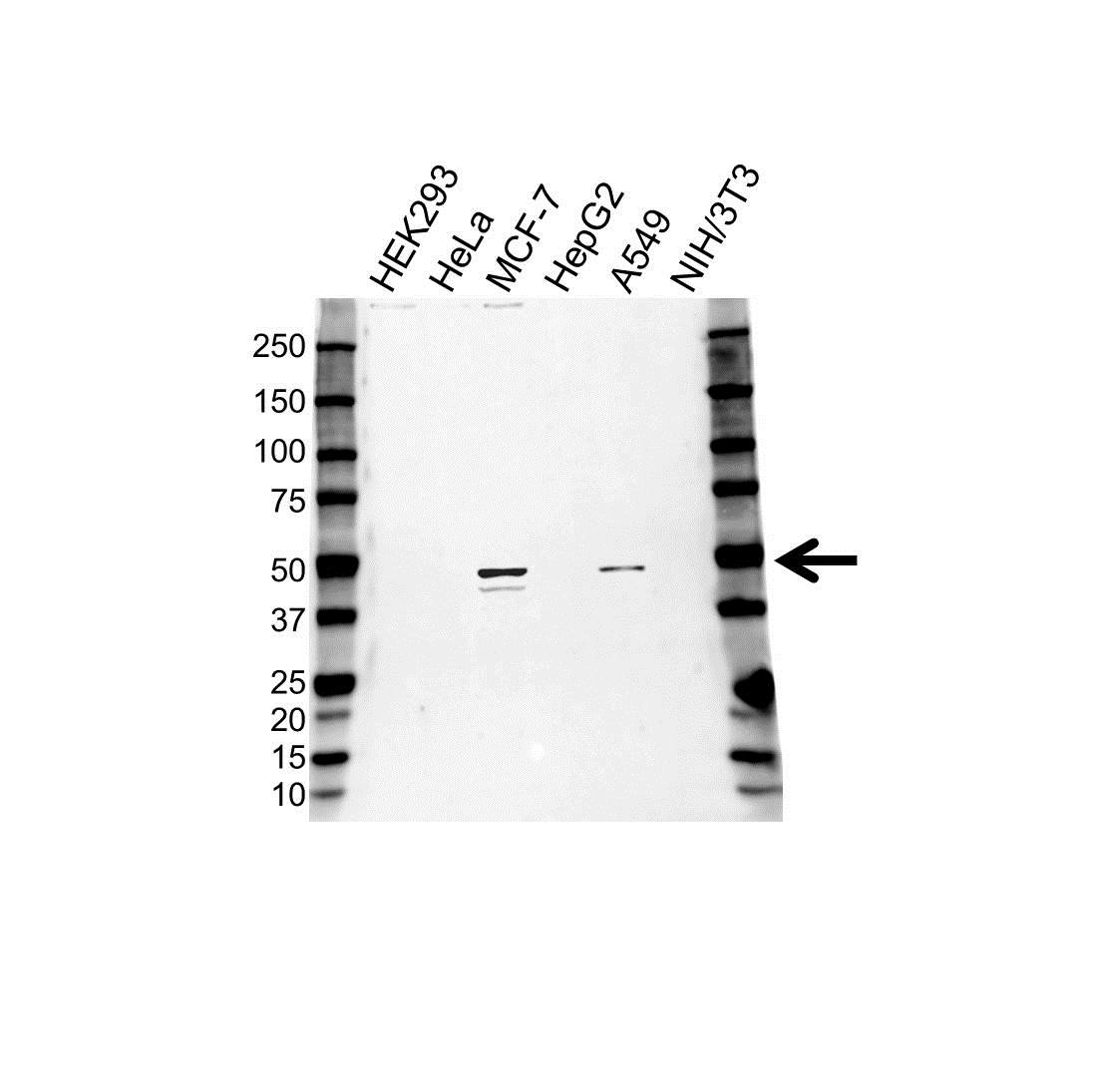 Anti CD88 Antibody (PrecisionAb Polyclonal Antibody) gallery image 1
