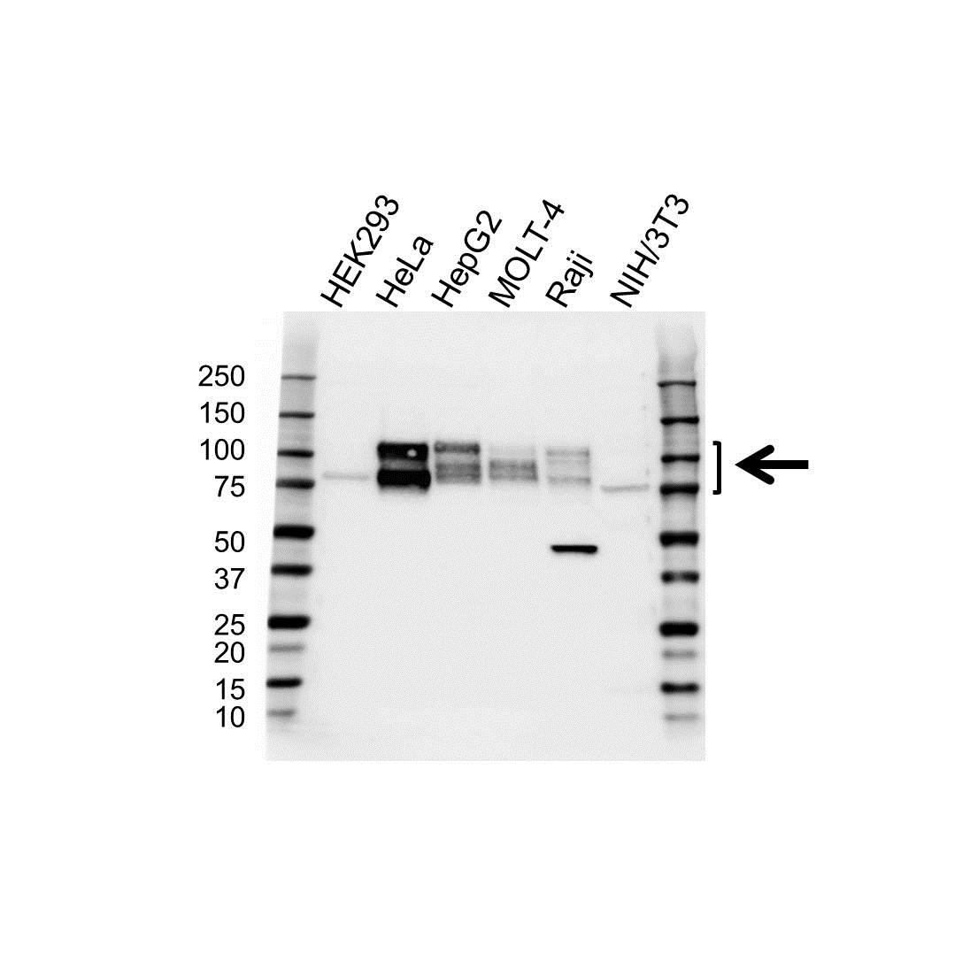 Anti CD98 Antibody (PrecisionAb Polyclonal Antibody) gallery image 1
