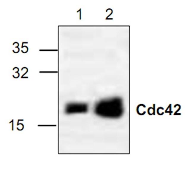 Anti CDC42 Antibody gallery image 1