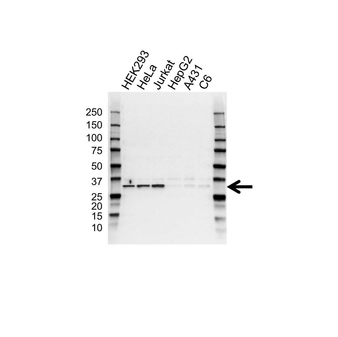 Anti CDK2 Antibody (PrecisionAb™ Polyclonal Antibody) gallery image 1