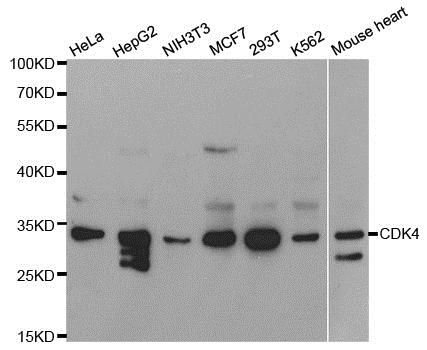 Anti CDK4 Antibody thumbnail image 1