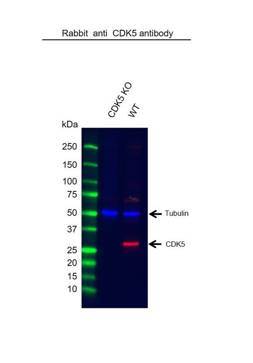 Anti CDK5 Antibody (PrecisionAb Polyclonal Antibody) thumbnail image 2