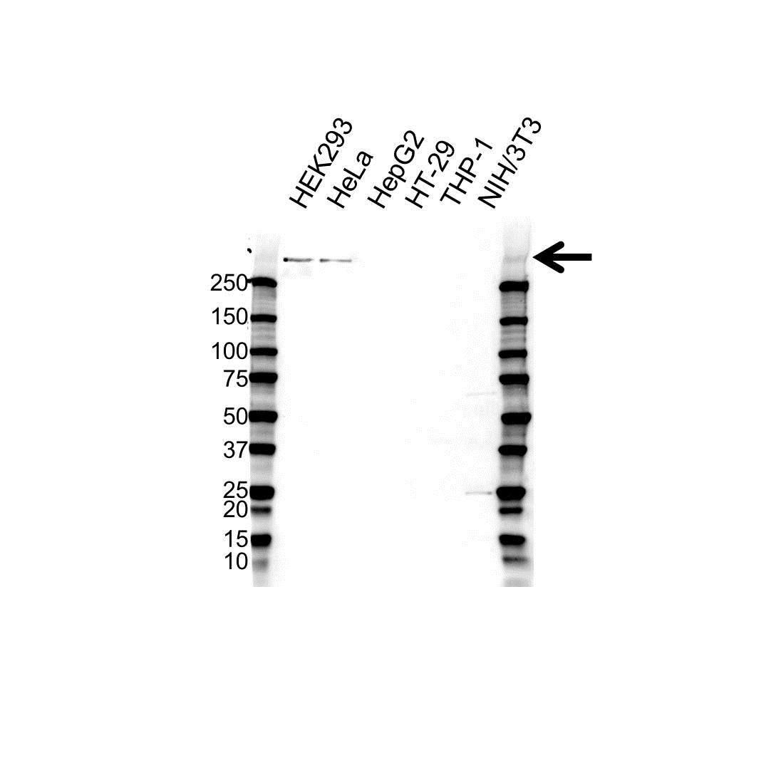 Anti Centromere Protein F Antibody (PrecisionAb™ Polyclonal Antibody) gallery image 1