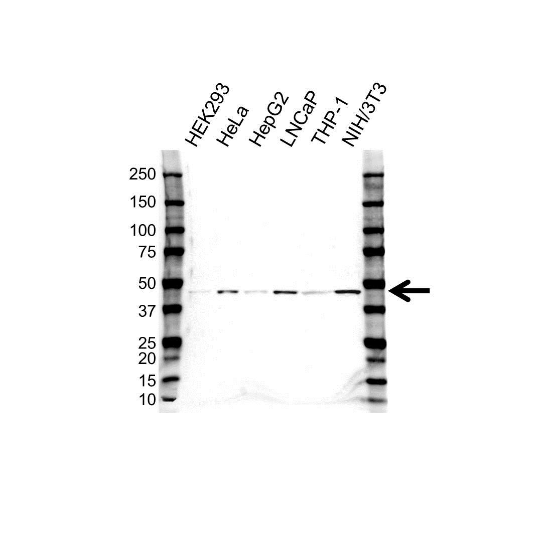 Anti CHI3L1 Antibody (PrecisionAb Polyclonal Antibody) gallery image 1
