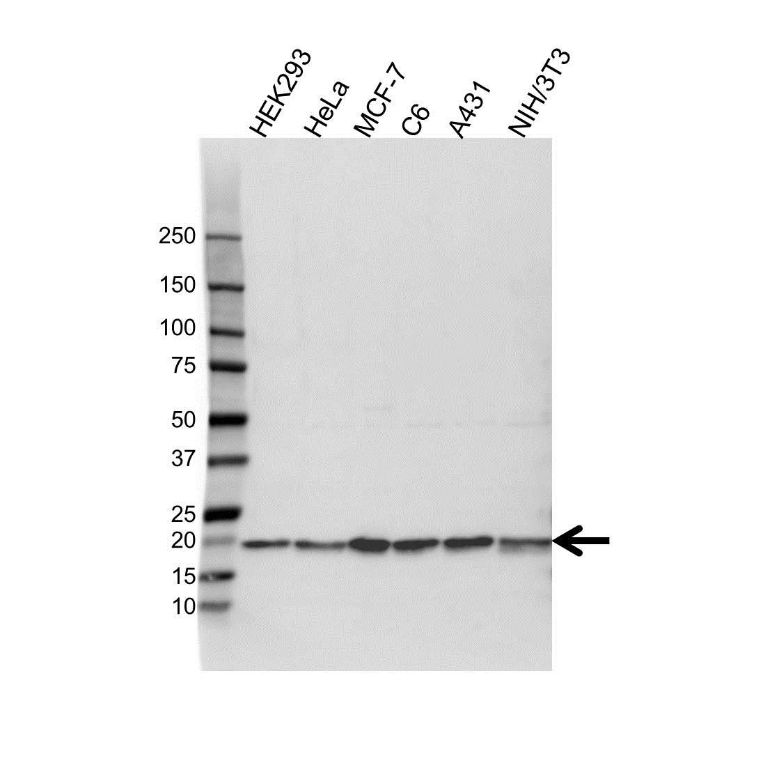 Anti Cofilin 1 Antibody (PrecisionAb™ Polyclonal Antibody) gallery image 1