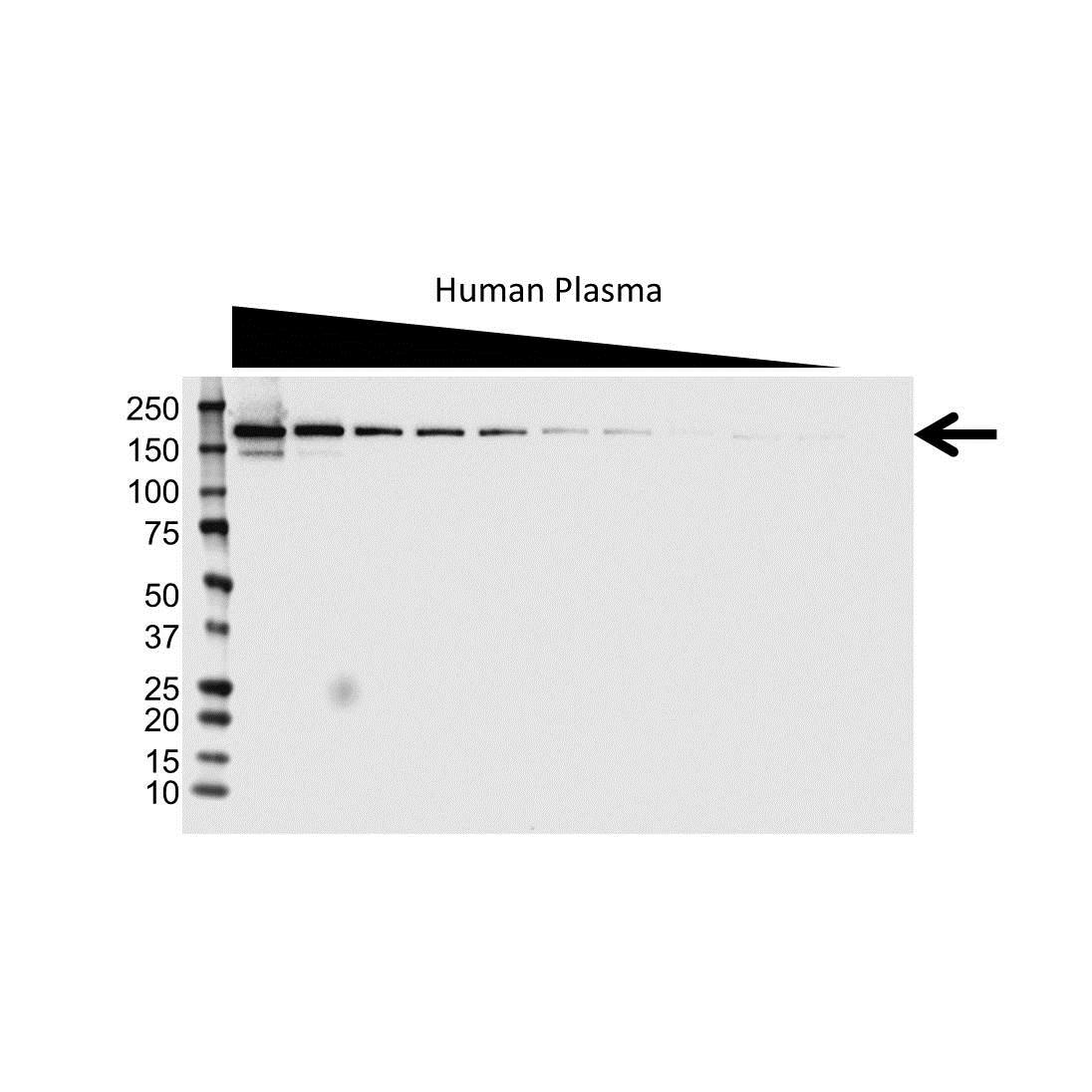 Anti Complement Factor H Antibody (PrecisionAb Polyclonal Antibody) gallery image 1