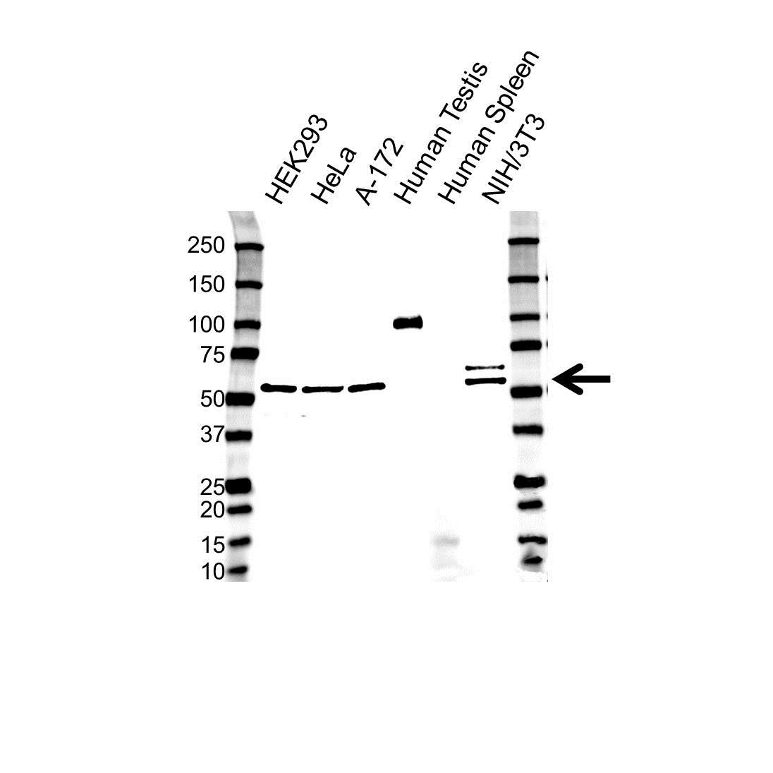 Anti COP9 Signalosome Complex Subunit 1 Antibody (PrecisionAb Polyclonal Antibody) gallery image 1