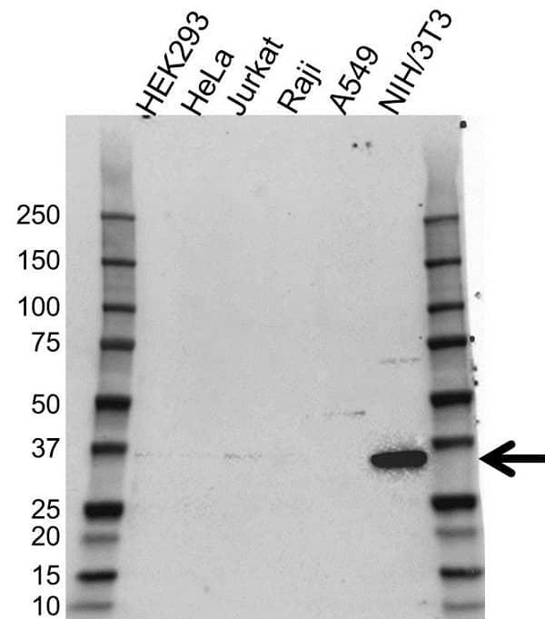 Anti COP9 Signalosome Subunit 6 Antibody (PrecisionAb Polyclonal Antibody) gallery image 1