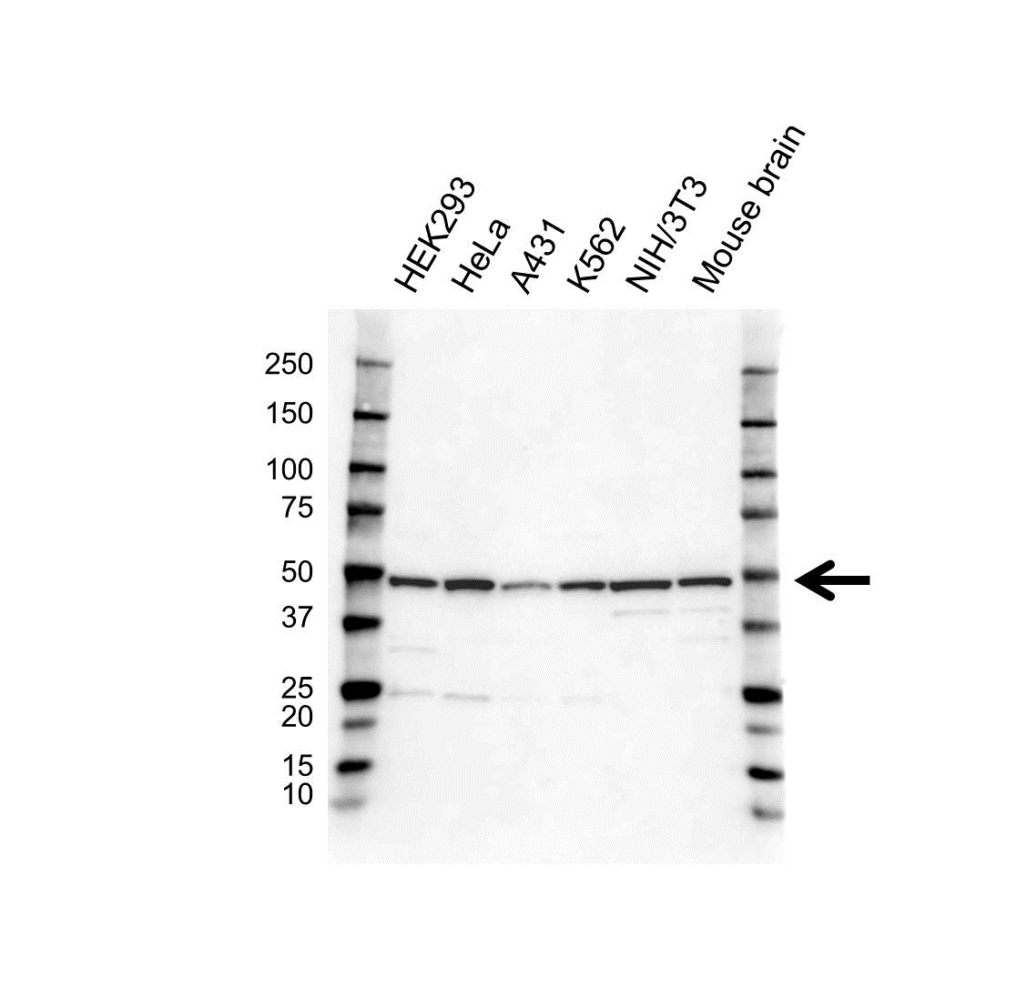 Anti COPS2 Antibody (PrecisionAb Polyclonal Antibody) gallery image 1