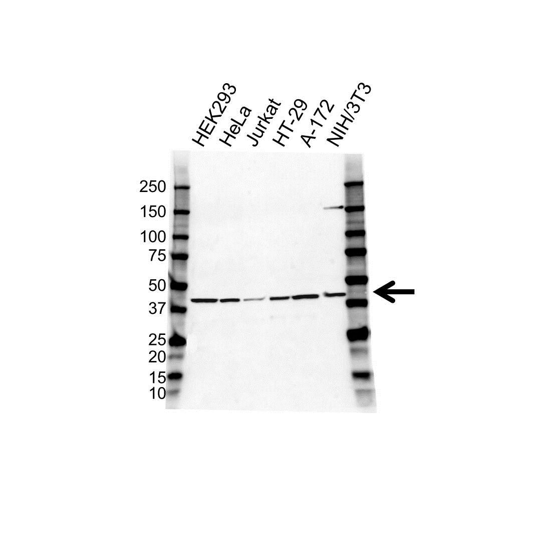 Anti COPS3 Antibody (PrecisionAb Polyclonal Antibody) gallery image 1