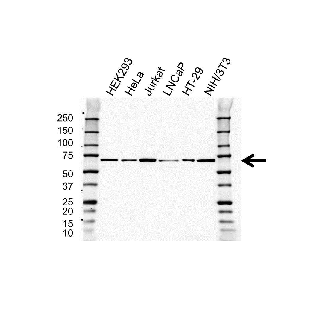 Anti CoREST Antibody (PrecisionAb™ Polyclonal Antibody) gallery image 1
