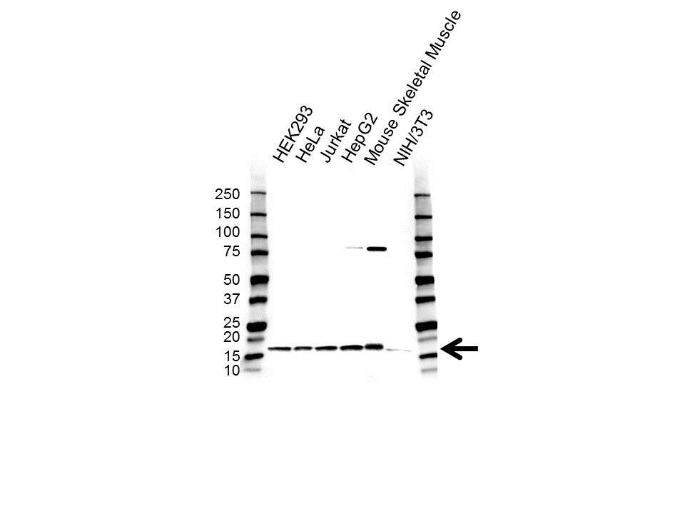 Anti COX4I1 Antibody (PrecisionAb Polyclonal Antibody) gallery image 1