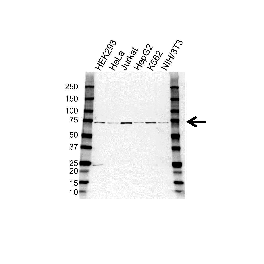 Anti CPSF6 Antibody (PrecisionAb Polyclonal Antibody) gallery image 1