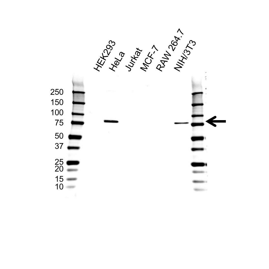 Anti Cranin Antibody (PrecisionAb Polyclonal Antibody) gallery image 1