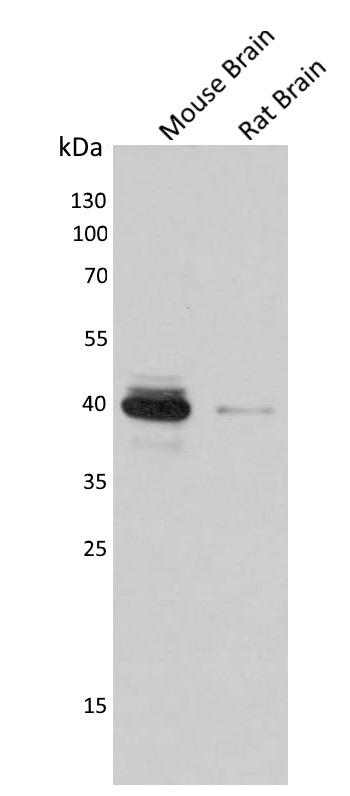 Anti CREB1 Antibody thumbnail image 2