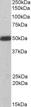 Anti Human CSK (C-Terminal) Antibody thumbnail image 3