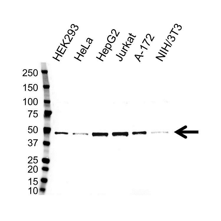 Anti CTBP1 Antibody (PrecisionAb™ Polyclonal Antibody) gallery image 1