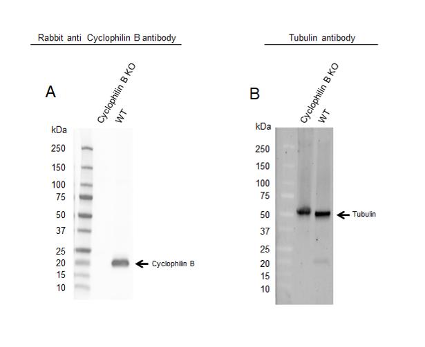 Anti Cyclophilin B Antibody (PrecisionAb Polyclonal Antibody) thumbnail image 2