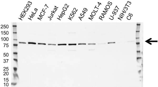 Anti Cytochrome B245 Antibody (PrecisionAb Polyclonal Antibody) gallery image 1