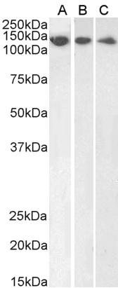 Anti DDB1 (C-Terminal) Antibody thumbnail image 2