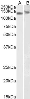 Anti DDB1 (C-Terminal) Antibody thumbnail image 3