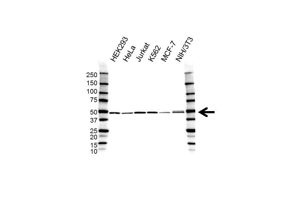 Anti DDX39B Antibody (PrecisionAb Polyclonal Antibody) gallery image 1