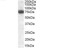 Anti Delta-Like Protein 1 Antibody gallery image 2