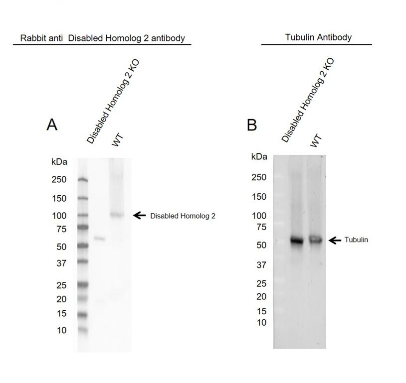 Anti Disabled Homolog 2 Antibody (PrecisionAb Polyclonal Antibody) thumbnail image 2