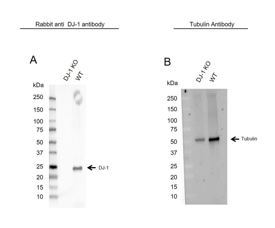 Anti DJ-1 Antibody (PrecisionAb Polyclonal Antibody) thumbnail image 2