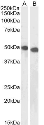 Anti DPF2 Antibody gallery image 1
